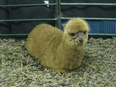 Alpaca worm