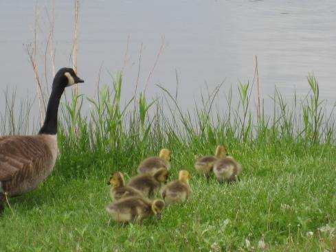 Canadian Mother Goose and Baby Geese