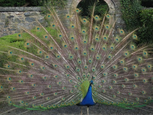 Peacock with spread tail fan