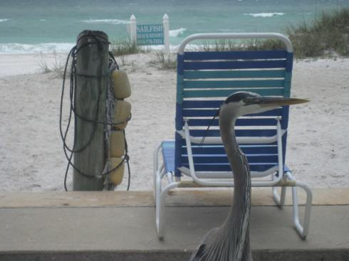 Harry the Great Blue Heron