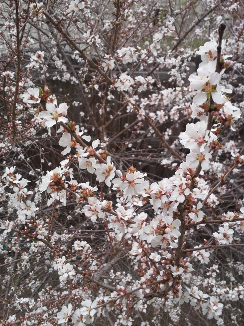 Flowering plum bush