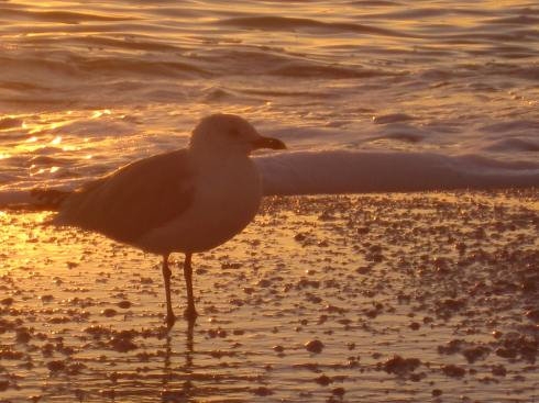 Sunset Seagull