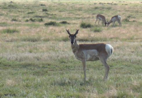 Antelope 1