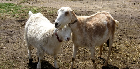 Goat Snuggles - 1